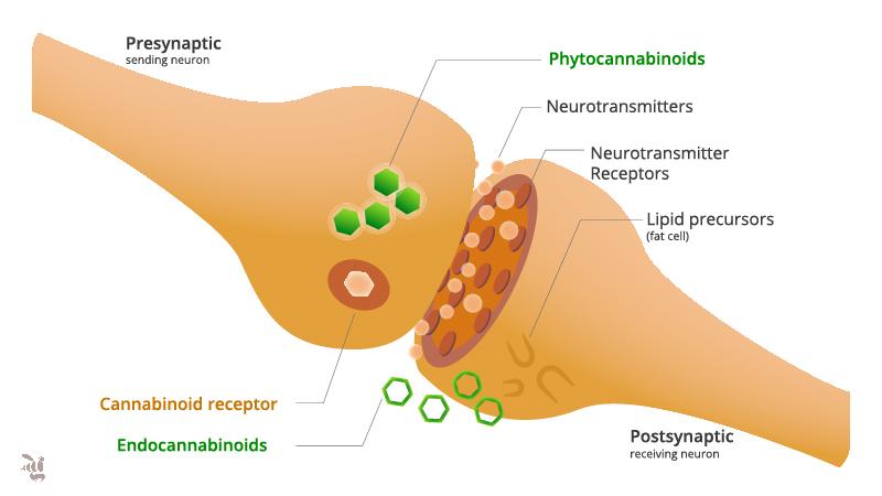 CBD interacts with endocannabinoid receptors illustration